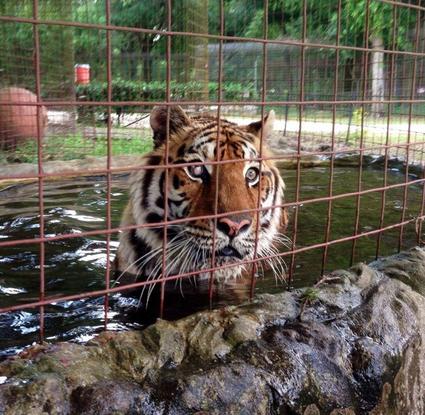 Size 550x415 zeus tiger pool bigcatrescue