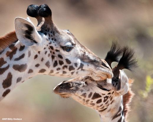 Size 550x415 billydodson giraffe01