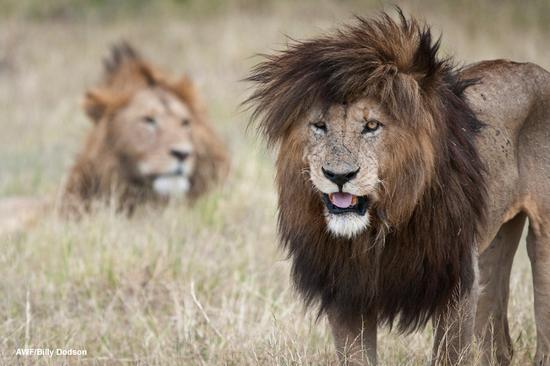 Size 550x415 billydodson lion02