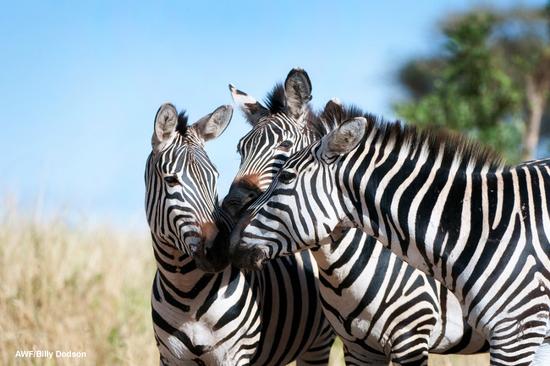 Size 550x415 billydodson zebra01