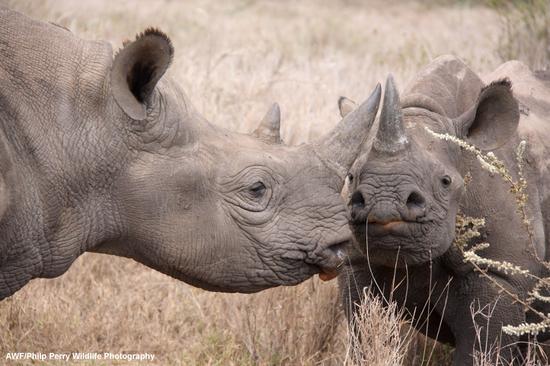 Size 550x415 philipperrywildlifephotography hooklipped rhinoceros img 3521 philip perry01