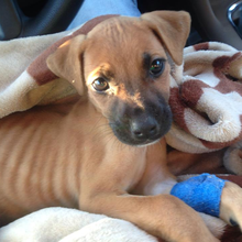 Evie the boxer puppy- Her courageous fight for survival