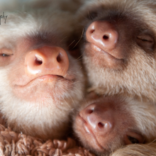 The Sloth Institute Costa Rica: Adopt-a-Sloth Program