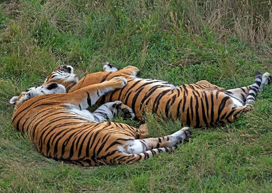 Size 550x415 tigers twas