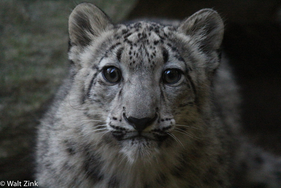 Trek For A Cause - Snow Leopard Trust