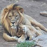 Size 550x415 lions thumbnail