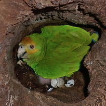 Protect the parrot chicks on Bonaire!