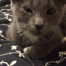 Kitten Stella needs eye surgery - suffers from a painful condition called: Eyelid Agenesis