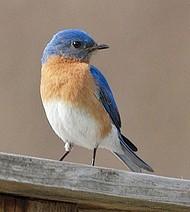 Size 550x415 bluebird new england birdhouse   copy