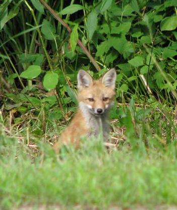 Size 550x415 fox