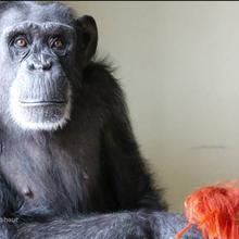 Chimpanzee Sanctuary Northwest